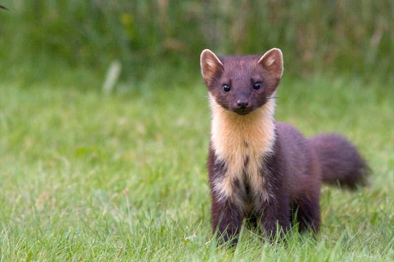 PineMarten-08031